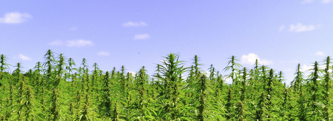 Vertical_Hemp_field_2pS.jpg