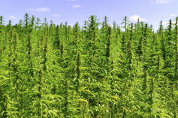 Vertical_Hemp_field_3.jpg